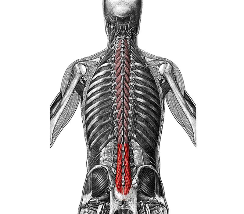 Location of the lumbar multifidus muscles